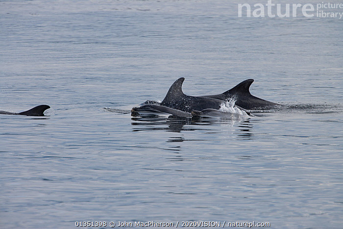 Bottlenose dolphin (Tursiops truncatus) group surfacing in calm water, Moray Firth, Inverness-shire, Scotland, UK, July, 2020VISION,ATLANTIC,BOTTLENOSE,CETACEANS,COASTAL WATERS,DELPHINIDAE,DOLPHIN,DOLPHINS,EUROPE,FAMILIES,FINS,GROUPS,INVERNESS SHIRE,MAMMALS,MARINE,MORAY,MORAY FIRTH,OUTDOORS,SCOTLAND,SEAS,SURFACE,TEMPERATE,UK,VERTEBRATES,United Kingdom, John MacPherson / 2020VISION