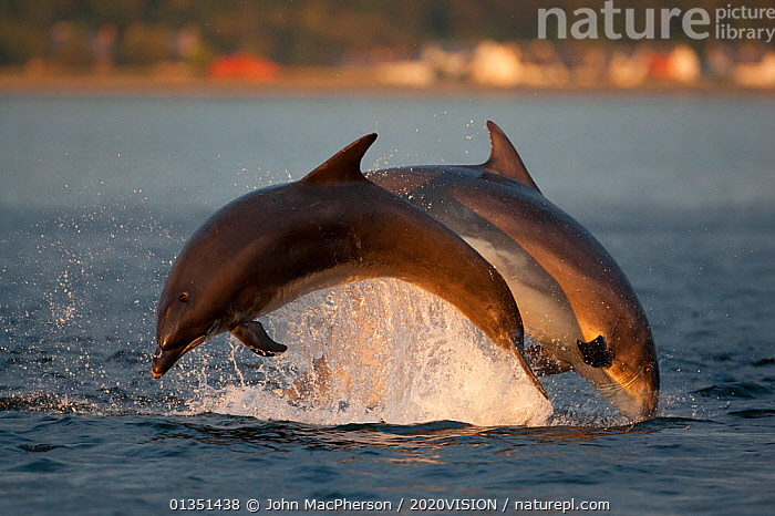 Bottlenose dolphin (Tursiops truncatus) two breaching in evening light, Moray Firth, Inverness-shire, Scotland, UK, August, sequence 2/2. Photographer quote: 'A day of overcast cloud cleared in the last ten minutes of sunset spilling golden light through a small gap between the cloud base and hill top. A group of dolphins seized the moment and performed a perfect synchronized leap in the low warm sunlight. And I smiled, sighed with relief, and went home happy!' Did you know? The bottle nose dolphins in the Moray Firth are said to be worth more than �4m to the Inverness economy through tourism revenue.  ,  2020VISION,ATLANTIC,BEHAVIOUR,bottlenose,BREACHING,CETACEANS,COASTAL WATERS,Delphinidae,DOLPHIN,DOLPHINS,EUROPE,Evening,JUMPING,LEAPING,MAMMALS,MARINE,moray firth,picday,play,PROFILE,SCOTLAND,seas,splashing,SUNSET,TEMPERATE,two,UK,VERTEBRATES,Communication,United Kingdom,2020cc  ,  John MacPherson / 2020VISION