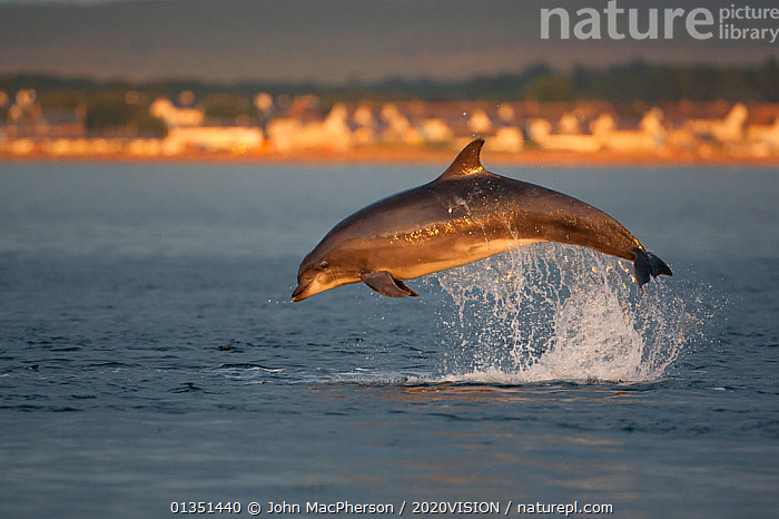 Bottlenose dolphin (Tursiops truncatus) breaching in evening light, Moray Firth, Inverness-shire, Scotland, UK, August, sequence 2/7. Did you know? Bottlenose dolphins have shown some tool using behaviour - picking up sponges whilst foraging on the sea floor to protect their snouts.  ,  2020VISION,ATLANTIC,BEHAVIOUR,BOTTLENOSE,BREACHING,CETACEANS,COASTAL WATERS,DELPHINIDAE,DOLPHIN,DOLPHINS,EUROPE,EVENING,JUMPING,LEAPING,MAMMALS,MARINE,MORAY FIRTH,PLAY,PROFILE,SCOTLAND,SEAS,PICDAY,SPLASHING,SUNSET,TEMPERATE,UK,VERTEBRATES,Communication,United Kingdom  ,  John MacPherson / 2020VISION