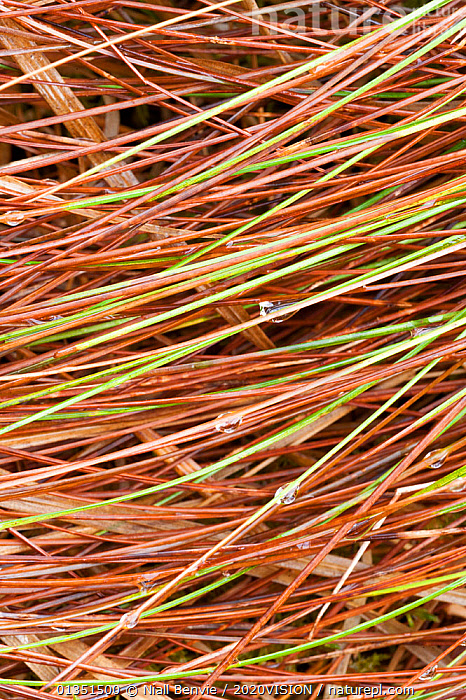 Grass leaves, Assynt, Assynt Uplands, Scotland, UK, January  ,  2020VISION,ARTY SHOTS,ASSYNT,BACKGROUNDS,COMPOSITE,DECONSTRUCTION,EUROPE,GRASSES,GROUND,IFTE NB 014180,LEAVES,MOUNTAINS,NBE_03_230111_0083,PATTERNS,SCOTLAND,UK,UPLANDS,VERTICAL,United Kingdom  ,  Niall Benvie / 2020VISION