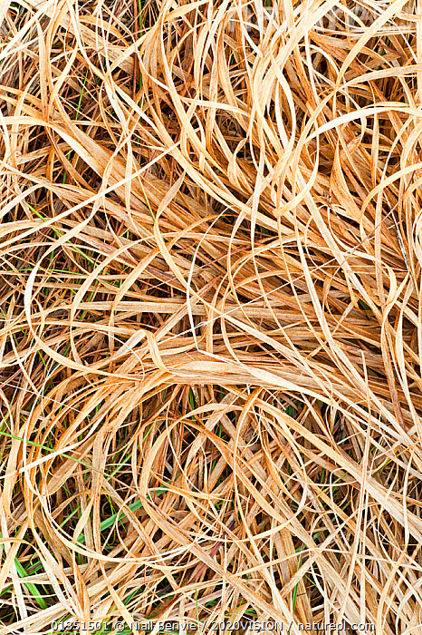 Grass leaves, Assynt, Assynt Uplands, Scotland, UK, January  ,  2020VISION,ARTY SHOTS,ASSYNT,BACKGROUNDS,COMPOSITE,DECONSTRUCTION,EUROPE,GRASSES,GROUND,IFTE NB 014181,LEAVES,MOUNTAINS,NBE_03_230111_0084,PATTERNS,SCOTLAND,UK,UPLANDS,VERTICAL,WHITE,United Kingdom  ,  Niall Benvie / 2020VISION
