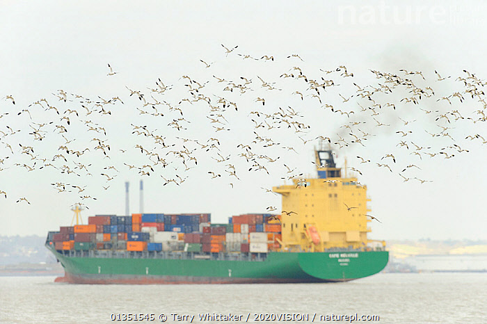 Flock of Avocet (Recurvirostra avosetta) in flight with container ship in background, site of new DP World London Gateway container port, River Thames, Essex, UK, March 2011  ,  2020VISION,AVOCETS,BIRDS,BOATS,COASTS,CONTAINER SHIPS,CONTAINERS,ENGLAND,EUROPE,FLOCKS,FLYING,GREATER THAMES FUTURESCAPES,PORT,PROFILE,RECURVIROSTRIDAE,RIVERS,SHIPPING,UK,URBAN,VERTEBRATES,WADERS,WORKING BOATS,WORKING-BOATS ,United Kingdom  ,  Terry Whittaker / 2020VISION