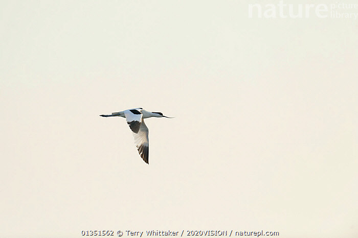 Avocet (Recurvirostra avosetta) in flight,  Thames Estuary, Elmley Marshes RSPB reserve, North Kent, UK, April 2011  ,  2020VISION,ATMOSPHERIC,AVOCETS,BIRDS,COASTS,ENGLAND,EUROPE,FLYING,GREATER THAMES FUTURESCAPES,RECURVIROSTRIDAE,RIVERS,UK,URBAN,VERTEBRATES,WADERS,United Kingdom  ,  Terry Whittaker / 2020VISION