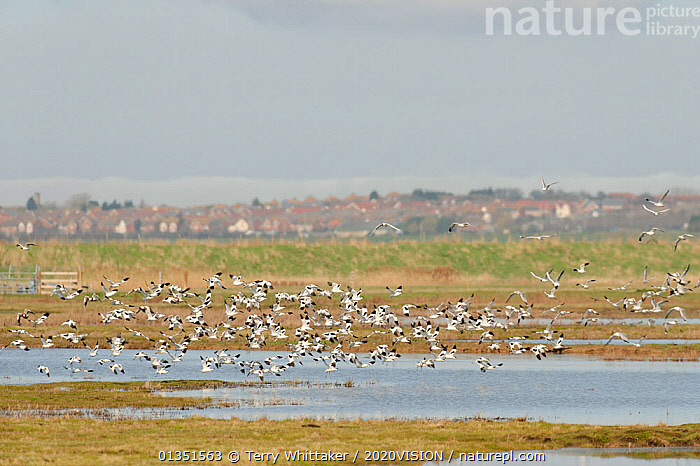 Flock of Avocet (Recurvirostra avosetta) in flight over grazing marsh, Thames Estuary,  Thames Estuary, Elmley Marshes RSPB reserve, North Kent, UK, April 2011  ,  2020VISION,AVOCETS,BIRDS,BUILDINGS,COASTS,ENGLAND,EUROPE,GREATER THAMES FUTURESCAPES,LANDSCAPES,MARSHES,RECURVIROSTRIDAE,RIVERS,TOWNS,UK,URBAN,VERTEBRATES,WADERS,WATER,WETLANDS,United Kingdom  ,  Terry Whittaker / 2020VISION