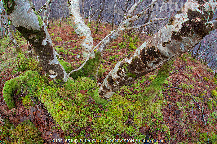 Upland woodland containing birch, oak, hazel, Inverpolly, Sutherland, Highlands, Scotland, UK, January 2011  ,  2020VISION,ASSYNT,COIGACH,DECIDUOUS,EUROPE,HABITAT,HIGHLANDS,LANDSCAPES,LICHENS,MOSS,MOUNTAINS,PCA_3_210111_47,SCOTLAND,TREES,UK,UPLANDS,WINTER,WOODLANDS,Plants,United Kingdom  ,  Peter Cairns / 2020VISION