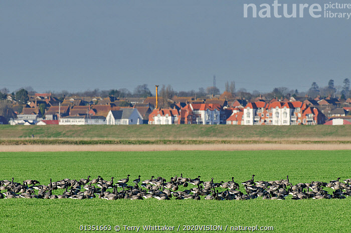 Flock of Dark-bellied brent geese (Branta bernicla) feeding on arable land on wetlands, Wallasea Island RSPB reserve, with Burnham-on-Crouch in the background, Essex, UK, February 2011  ,  2020VISION,ANATIDAE,BIRDS,BUILDINGS,COASTS,ENGLAND,EUROPE,FEEDING,FLOCKS,GEESE,HABITAT,LANDSCAPES,MIGRATION,RSPB,TOWNS,TWH_080211_0041,UK,URBAN,VERTEBRATES,WATERFOWL,WETLANDS,United Kingdom  ,  Terry Whittaker / 2020VISION