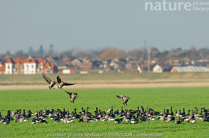 Flock of Dark-bellied brent geese (Branta bernicla) feeding on arable land on wetlands, Wallasea Island RSPB reserve, with Burnham-on-Crouch in the background, Essex, UK, February 2011  ,  2020VISION,ANATIDAE,BIRDS,BUILDINGS,COASTS,ENGLAND,EUROPE,FEEDING,FLYING,GEESE,HABITAT,LANDSCAPES,MIGRATION,RSPB,TOWNS,TWH_080211_0043,UK,URBAN,VERTEBRATES,WATERFOWL,WETLANDS,United Kingdom  ,  Terry Whittaker / 2020VISION
