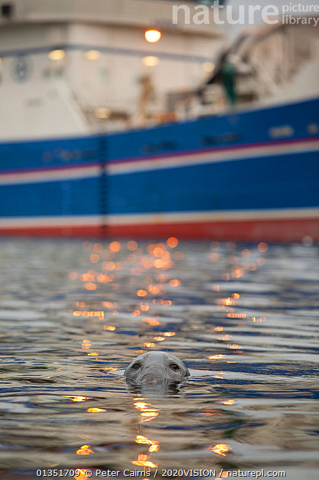 Grey seal (Halichoerus grypus) bull with reflections on water of harbour lights and fishing trawler in the background, Shetland Isles, Scotland, UK, June 2010  ,  2020VISION,BOATS,BULL,CARNIVORES,COASTS,EUROPE,FISHING,FISHING BOATS,HARBOUR,MALE,MAMMALS,MARINE,MS,PCA_12_160211_19,PHOCIDAE,PINNIPEDS,REFLECTIONS,SCOTLAND,SEALS,SEAS,SURFACE,TRAWLERS,UK,URBAN,VERTEBRATES,VERTICAL,WATER,WORKING BOATS,WORKING-BOATS ,United Kingdom  ,  Peter Cairns / 2020VISION
