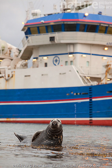Grey seal (Halichoerus grypus) on haul out in fishing harbour with ferry in the background, Shetland Isles, Scotland, UK, June 2010, 2020VISION,BOATS,BULL,CARNIVORES,COASTS,EUROPE,FISHING BOATS,HARBOURS,LERWICK,MALE,MAMMALS,MARINE,MS,OCEAN,PCA_12_160211_32,PHOCIDAE,PINNIPEDS,SCOTLAND,SEALS,SEAS,TRAWLERS,UK,URBAN,VERTEBRATES,VERTICAL,WATER,WORKING BOATS,WORKING-BOATS ,United Kingdom,2020cc, Peter Cairns / 2020VISION