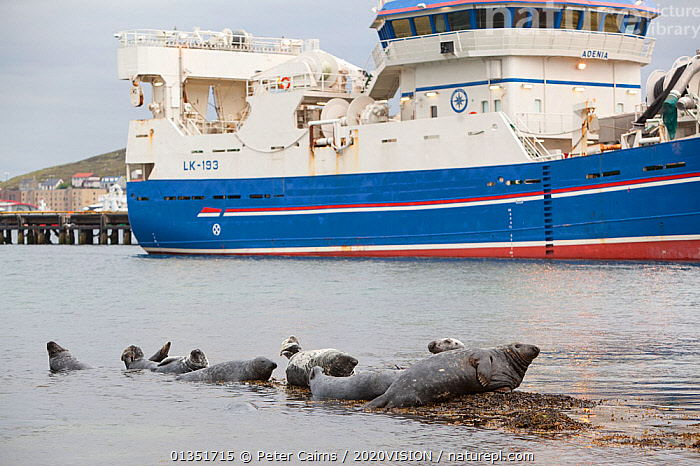 Grey seals (Halichoerus grypus) on haul out in fishing harbour with ferry in the background, Lerwick, Shetland Isles, Scotland, UK, June 2010. Photographer quote: 'These seals line up to take advantage of scraps of fish from a local processing plant - I know this because I had to crawl through the gunge!' Did you know? Like most predators, grey seals are opportunists � here loitering around a fish processing factory hoping for handouts.  ,  2020VISION,BOATS,CARNIVORES,COASTS,EUROPE,FERRIES,FISHING BOATS,GROUPS,HARBOURS,MAMMALS,MARINE,MS,OCEAN,pca_12_160211_36,Phocidae,picday,PINNIPEDS,SCOTLAND,SEALS,seas,TRAWLERS,UK,URBAN,VERTEBRATES,WATER,WORKING BOATS,WORKING-BOATS ,United Kingdom,2020cc  ,  Peter Cairns / 2020VISION