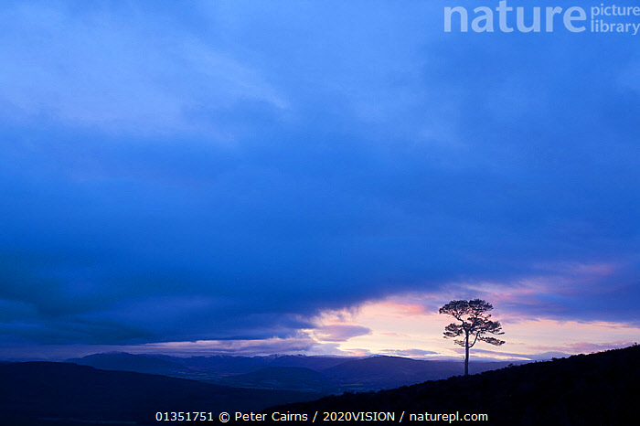 Lone Scots pine (Pinus sylvestris) silhouetted on ridge at dusk, Glenfeshie, Cairngorms NP, Scotland, UK, November 2010  ,  2020VISION,ATMOSPHERIC,CALEDONIAN PINEFOREST,CLOUDS,CONIFEROUS,DUSK,EUROPE,FORESTS,PCA_14_210111_02,SCOTLAND,SILHOUETTES,SUNSET,TREES,UK,Weather,PLANTS,United Kingdom  ,  Peter Cairns / 2020VISION