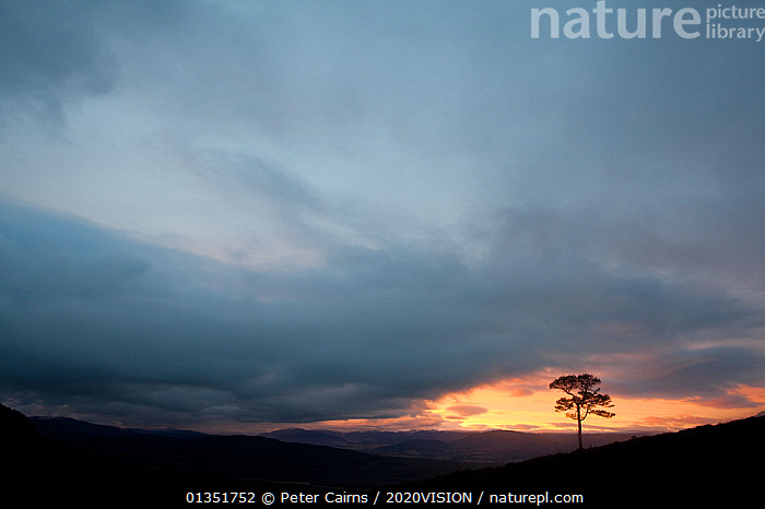 Lone Scots pine (Pinus sylvestris) silhouetted on ridge at dusk, Glenfeshie, Cairngorms NP, Scotland, UK, November 2010  ,  2020VISION,ATMOSPHERIC,CALEDONIAN PINEFOREST,CLOUDS,CONIFEROUS,DUSK,EUROPE,FORESTS,PCA_14_210111_03,SCOTLAND,SILHOUETTES,SUNSET,TREES,UK,Weather,PLANTS,United Kingdom  ,  Peter Cairns / 2020VISION