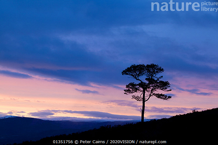 Lone Scots pine (Pinus sylvestris) silhouetted on ridge at dusk, Glenfeshie, Cairngorms NP, Scotland, UK, November 2010  ,  2020VISION,ATMOSPHERIC,CALEDONIAN PINEFOREST,CONIFEROUS,DUSK,EUROPE,FORESTS,PCA_14_210111_08,SCOTLAND,SILHOUETTES,SUNSET,TREES,UK,PLANTS,United Kingdom  ,  Peter Cairns / 2020VISION