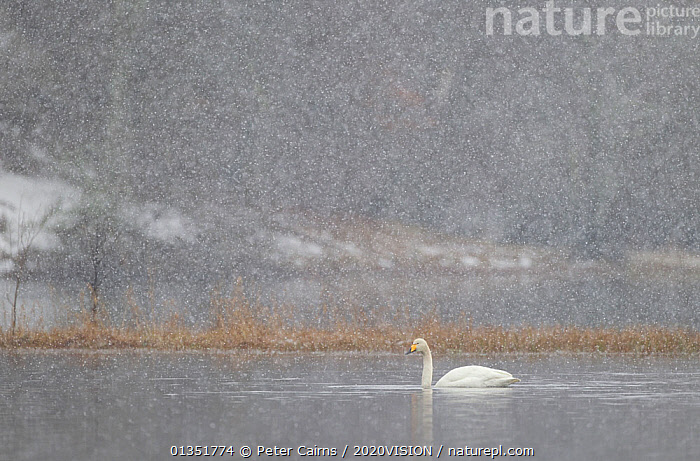 RF- Whooper swan (Cygnus cygnus) on water during snow storm. Loch Insh, Cairngorms NP, Highlands, Scotland, UK. March 2011. (This image may be licensed either as rights managed or royalty free.)  ,  2020VISION,Anatidae,ATMOSPHERIC,BIRDS,cairngorms,COLD,EUROPE,HIGHLANDS,LAKES,migrants,MIST,NP,pca_1_210311_33,SCOTLAND,SNOW,snowing,SWANS,UK,VERTEBRATES,WATER,WATERFOWL,,CYGNUS CYGNUS,Animal,Vertebrate,Bird,Birds,Water fowl,Waterfowl,True swan,Whooper swan,Animalia,Animal,Wildlife,Vertebrate,Aves,Bird,Birds,Anseriformes,Water fowl,Galloanserans,Waterfowl,Anatidae,Cygnus,True swan,Swan,Cygninae,Anserinae,Cygnus cygnus,Whooper swan,Alone,Solitude,Solitary,Colour,Grey,Nobody,Europe,Western Europe,UK,Great Britain,Scotland,Highland,Side View,Weather,Snowing,Snowfall,Blizzard,Outdoors,Winter,Freshwater,Lake,Water,Bad Weather,Reserve,Severe weather,Protected area,Highlands of Scotland,National Park,Low visibility,Negative space,Cairngorms National Park,RF,Royalty free,RFCAT1,RF17Q1,Loch Insh,Wildfowl  ,  Peter  Cairns / 2020VISION