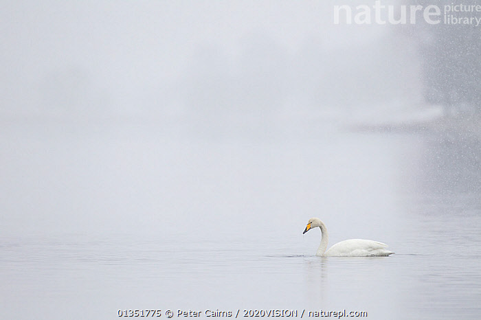 Whooper swan (Cygnus cygnus) on water during snow storm, Loch Insh, Cairngorms NP, Highlands, Scotland, UK, March 2011  ,  2020VISION,ANATIDAE,ATMOSPHERIC,BIRDS,CAIRNGORMS,COLD,EUROPE,HIGHLANDS,LAKES,MIGRANTS,NP,PCA_1_210311_39,SCOTLAND,SNOW,SNOWING,SWANS,UK,VERTEBRATES,WATER,WATERFOWL,WHITE,WINTER,National Park,United Kingdom,Wildfowl  ,  Peter Cairns / 2020VISION