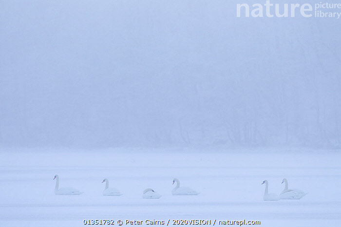 Mute Swans (Cygnus Olor) on frozen Loch Insh, Cairngorms NP, Kincraig, Scotland, UK, January  ,  2020VISION,ANATIDAE,BIRDS,CAIRNGORMS,COLD,DAWN,EUROPE,GROUPS,ICE,LAKES,MIST,PCA_10_120111_07,RIVERS,SCOTLAND,SWANS,UK,VERTEBRATES,WATER,WATERFOWL,WHITE,WINTER,WEATHER ,United Kingdom,Wildfowl  ,  Peter Cairns / 2020VISION