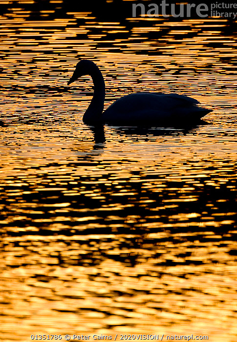 Whooper swan (cygnus cygnus) silhouette at sunrise, Loch Insh, Cairngorms NP, Kincraig, Scotland, UK, March 2011  ,  2020VISION,ANATIDAE,BIRDS,CAIRNGORMS,COLD,DAWN,EUROPE,LAKES,PCA_10_210311_03,REFLECTIONS,RIVERS,SCOTLAND,SILHOUETTES,SWANS,UK,VERTEBRATES,WATER,WATERFOWL,United Kingdom,Wildfowl,2020cc  ,  Peter Cairns / 2020VISION