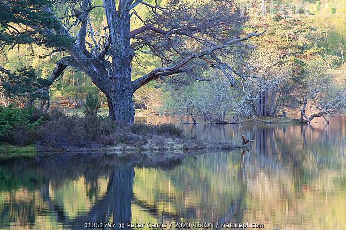 Native woodland reflected in Loch Vaa at dawn, spring, Cairngorms National Park, Highlands, Scotland, UK, May 2011  ,  2020VISION,BETULA,BIRCH,CALEDONIAN PINEWOODS,DAWN,EUROPE,FORESTS,HIGHLANDS,LAKES,LANDSCAPES,PCA_14_020511_03,PEACEFUL,PINE,PINUS,REFLECTIONS,SCOTLAND,SPRING,TREES,UK,WATER,PLANTS,United Kingdom  ,  Peter Cairns / 2020VISION