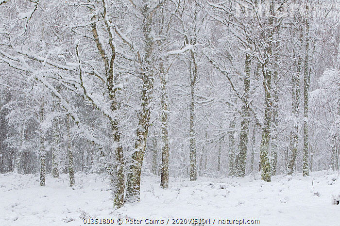 Birch woodland in blizzard, Cairngorms National Park, Loch Insh, Kincraig, Highlands, Scotland, UK, March 2011  ,  2020VISION,BIRCH,CALEDONIAN PINEWOODS,COLD,DOWNY,EUROPE,FORESTS,HABITAT,LANDSCAPES,PCA_14_020511_452,RESERVE,RSPB,SCOTLAND,SNOW,SNOWING,TREES,UK,WHITE,WINTER,PLANTS,United Kingdom  ,  Peter Cairns / 2020VISION
