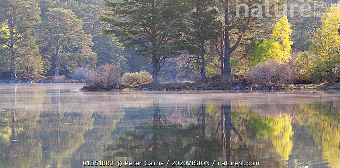Native woodland reflected in Loch Vaa at dawn, spring, Cairngorms National Park, Highlands, Scotland, UK, April 2011  ,  2020VISION,BETULA,BIRCH,CALEDONIAN PINEWOODS,DAWN,EUROPE,FORESTS,HIGHLANDS,LAKES,LANDSCAPES,MIST,PCA_14_170511_01,PEACEFUL,PINE,PINUS,REFLECTIONS,SCOTLAND,SPRING,TREES,UK,WATER,PLANTS,United Kingdom  ,  Peter Cairns / 2020VISION