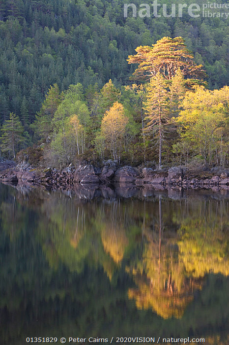 Dawn reflections in Loch Beinn a� Mheadhoin, Glen Affric, Wester Ross, Highlands, Scotland, UK, May 2011  ,  2020VISION,ATMOSPHERIC,BIRCH,CALEDONIAN PINEWOODS,DAWN,EUROPE,FORESTS,LAKES,LANDSCAPES,PCA_14_170511_72,REFLECTIONS,RESERVE,SCOTLAND,SPRING,TREES,UK,VERTICAL,WATER,PLANTS,United Kingdom  ,  Peter Cairns / 2020VISION