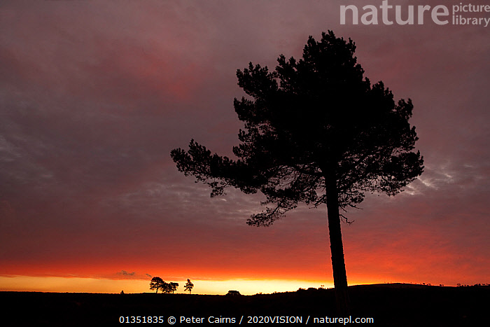 Scots pine (Pinus sylvestris) silhouette at dawn, Cairngorms National Park, Highlands, Scotland, UK, April 2011  ,  2020VISION,ATMOSPHERIC,CALEDONIAN PINEWOODS,CONIFER,CONIFERS,DAWN,EUROPE,FORESTS,GYMNOSPERMS,ISOLATED,LONE,ORANGE,PCA_14_210411_02,PINACEAE,PINE,PINES,PINUS,PLANTS,SCOTLAND,SCOTS,SILHOUETTES,SUNRISE,SYLVESTRIS,UK,United Kingdom  ,  Peter Cairns / 2020VISION