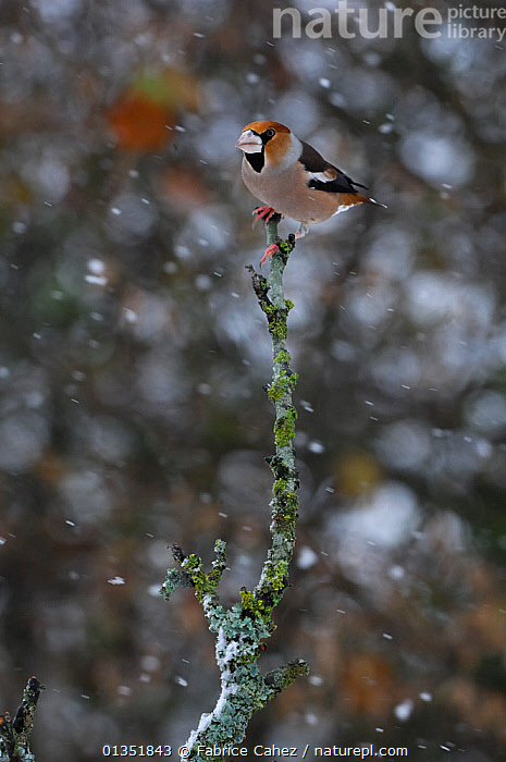 Hawfinch (Coccothraustes coccothraustes) perched in snowfall. Vosges, France, November.  ,  BIRDS,EUROPE,FINCHES,FRANCE,SNOW,SNOWING,VERTEBRATES,VERTICAL  ,  Fabrice Cahez