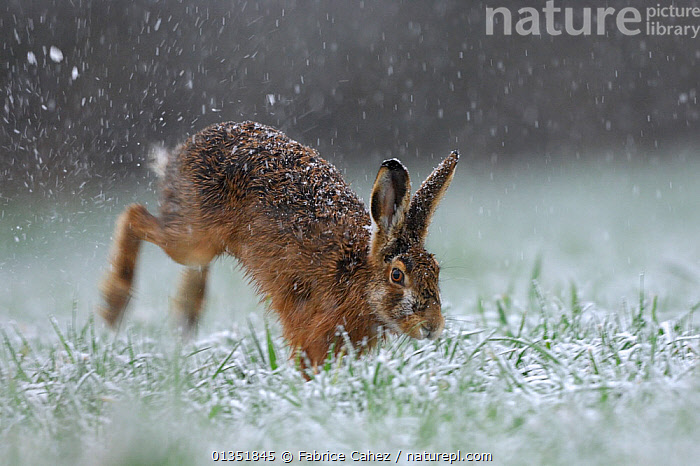 Hare (Lepus europaeus) hopping through grass in snowfall. Vosges, France, March.  ,  BROWN HARE,EUROPE,FRANCE,HARES,LAGOMORPHS,MAMMALS,SNOW,SNOWING,VERTEBRATES  ,  Fabrice Cahez