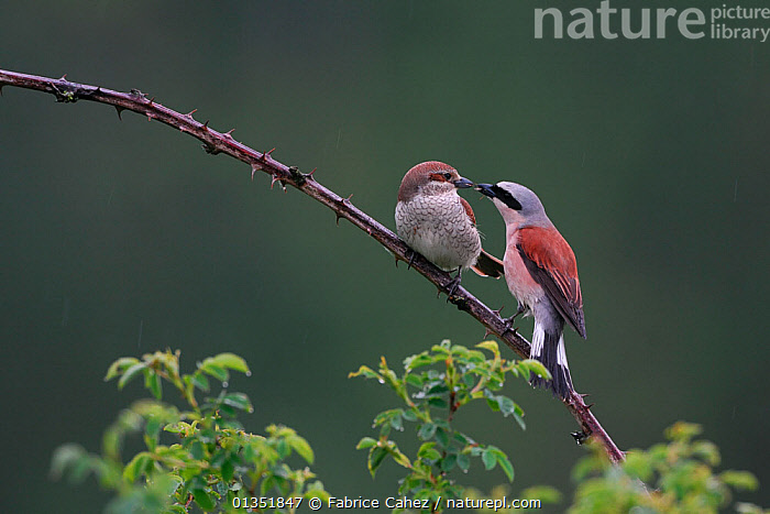 Red-backed Shrike (Lanius collurio) male courting a female (left). Vosges, France, May.  ,  BEHAVIOUR,BIRDS,COURTSHIP,EUROPE,FRANCE,KISSING,MALE FEMALE PAIR,MATING BEHAVIOUR,SHRIKES,TWO,VERTEBRATES  ,  Fabrice Cahez