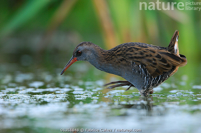 Water Rail (Rallus aquaticus) foraging in shallow water. Vosges, France, August.  ,  BIRDS,EUROPE,FORAGING,FRANCE,PROFILE,RAILS,RALLIDAE,VERTEBRATES,WATER,WATERFOWL  ,  Fabrice Cahez