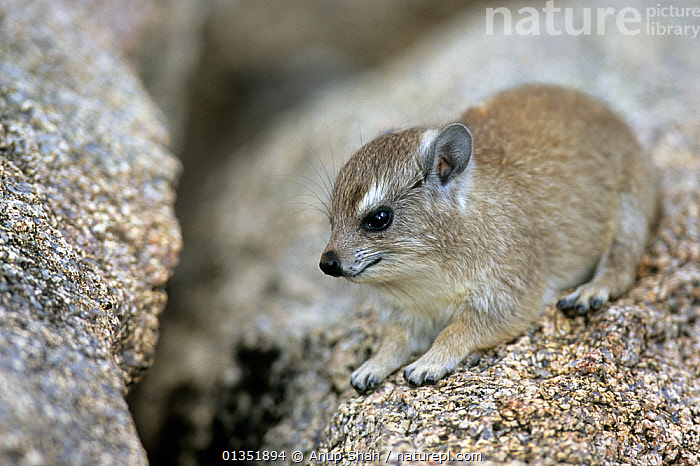 Baby Rock hyrax (Procavia capensis) on a rock, Serengeti NP, Tanzania 2007  ,  AFRICA,BABIES,CUTE,DASSIE,EAST AFRICA,HYDRACOIDEA,HYRAXES,JUVENILE,MAMMALS,VERTEBRATES,YOUNG,,Serengeti National Park, UNESCO World Heritage Site,  ,  Anup Shah