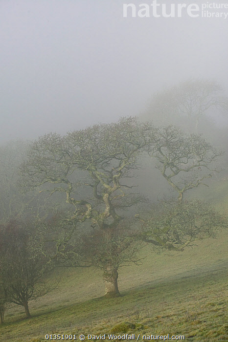 Sessile Oak (Quercus patraea) in mist. Gilfach Farm SSSI, Radnorshire Wildlife Trust, Wales, UK, November.  ,  bad weather,catalogue4,DICOTYLEDONS,EUROPE,FAGACEAE,FARMLAND,Gilfach Farm,hillside,LANDSCAPES,MIST,misty,Nobody,one object,pasture,PLANTS,Radnorshire,remote,RESERVE,rural,SSSI,UK,VERTICAL,WALES,Wildlife Trust,WINTER,United Kingdom  ,  David Woodfall