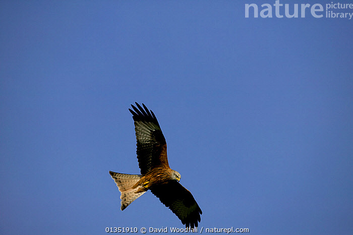 Red Kite (Milvus milvus) in flight. Gilfach farm SSSI Radnorshire Wildlife Trust, Wales, March.  ,  BIRDS,BIRDS OF PREY,CUTOUT,EUROPE,FLYING,KITES,RESERVE,SSSI,UK,VERTEBRATES,WALES,United Kingdom  ,  David Woodfall