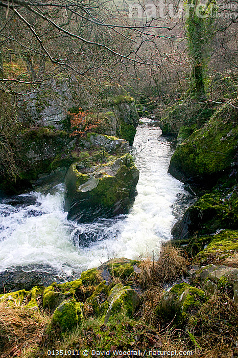 River Marteg SSSI in spate, ideal conditions for jumping salmon. Gilfach farm nature reserve, Wales, November.  ,  EUROPE,HABITAT,LANDSCAPES,RESERVE,RIVERS,SSSI,STREAMS,UK,VERTICAL,WALES,United Kingdom  ,  David Woodfall
