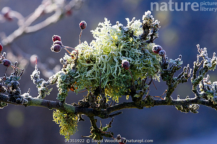 Branch of old Hawthorn (Crataegus monogyna) with lichen and frost. Gilfach Farm SSSI, Radnorshire Wildlife Trust, November.  ,  DICOTYLEDONS,EUROPE,FROST,LICHEN,PLANTS,RESERVE,ROSACEAE,SSSI,UK,WALES,Weather,United Kingdom  ,  David Woodfall