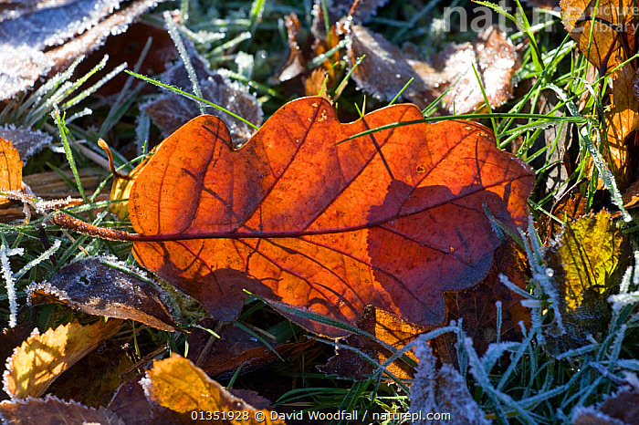 Sessile Oak (Quercus petraea) leaf on frosty woodland floor. Gilfach Farm SSSI, Radnorshire Wildlife Trust nature reserve, Wales, November.  ,  DICOTYLEDONS,EUROPE,FAGACEAE,FROST,LEAVES,PLANTS,RESERVE,SSSI,UK,WALES,Weather,United Kingdom  ,  David Woodfall