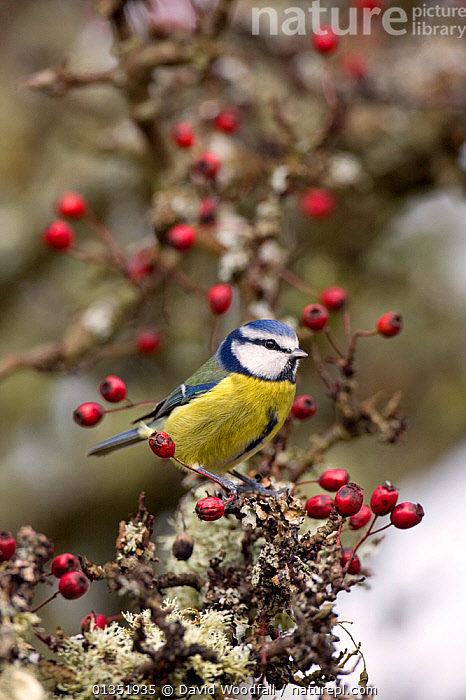 Blue Tit (Parus caeruleus) on lichen encrusted Hawthorn. Gilfach farm SSSI, Radnorshire Wildlife Trust nature reserve, Wales, November.  ,  BERRIES,BIRDS,EUROPE,FRUIT,PARIDAE,RESERVE,SONGBIRDS,SSSI,TITS,UK,VERTEBRATES,VERTICAL,WALES,Plants,United Kingdom  ,  David Woodfall