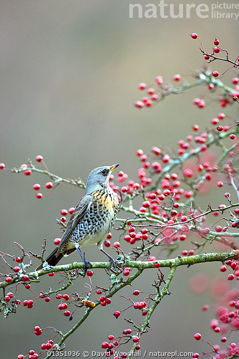 Fieldfare (Turdus pilaris) on Hawthorn in berry. Gilfach farm SSSI, Radnorshire Wildlife trust nature reserve, Wales, November.  ,  BERRIES,BIRDS,EUROPE,FRUIT,RESERVE,SONGBIRDS,SSSI,THRUSHES,TURDIDAE,UK,VERTEBRATES,VERTICAL,WALES,Plants,United Kingdom  ,  David Woodfall