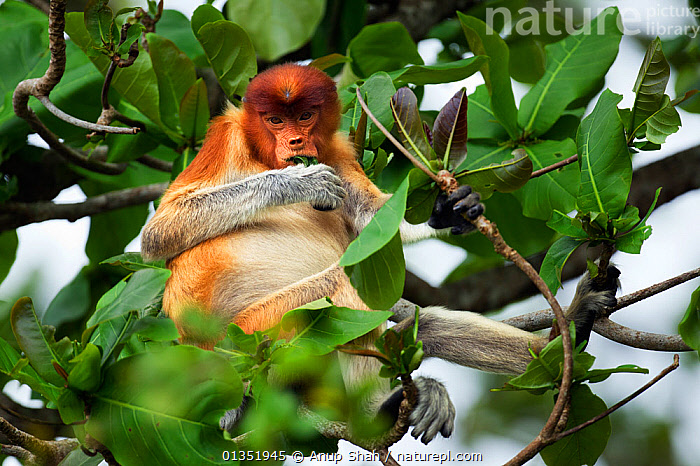 Proboscis monkey (Nasalis larvatus) young male feeding on leaves in the rainforest canopy, Bako National Park, Sarawak, Borneo, Malaysia, March  ,  ASIA,CANOPY,EATING,ENDANGERED,FEEDING,JUVENILE,LEAVES,MALES,MAMMALS,MONKEYS,NP,PRIMATES,RESERVE,SITTING,SOUTH EAST ASIA,TREES,TROPICAL,TROPICS,YOUNG,National Park,PLANTS  ,  Anup Shah