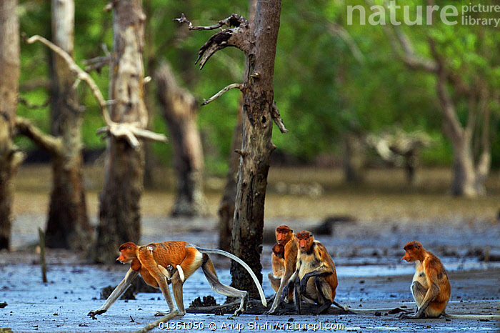 Group of Proboscis monkeys (Nasalis larvatus) sitting on the mudflats of a mangrove swamp revealed at low tide, Bako National Park, Sarawak, Borneo, Malaysia, March  ,  ASIA,BABIES,ENDANGERED,FAMILIES,FEMALES,GROUPS,MAMMALS,MANGROVES,MONKEYS,NP,PRIMATES,RESERVE,ROOTS,SOUTH EAST ASIA,SWAMPS,TIDAL,TREES,TROPICAL,TROPICS,WETLANDS,YOUNG,National Park,PLANTS  ,  Anup Shah