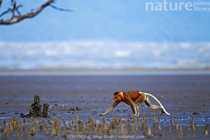 Proboscis monkey (Nasalis larvatus) male walking across the mudflats of a mangrove swamp revealed at low tide with the sea in the background, Bako National Park, Sarawak, Borneo, Malaysia, March  ,  ASIA,ENDANGERED,HABITAT,MALES,MAMMALS,MANGROVES,MARINE,MONKEYS,NP,PRIMATES,RESERVE,ROOTS,SOUTH EAST ASIA,TIDAL,TROPICAL,TROPICS,WETLANDS,National Park  ,  Anup Shah