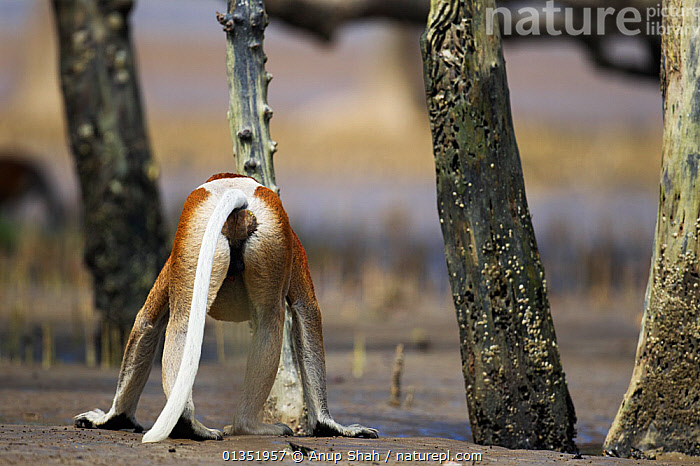 Rear view of mature male Proboscis monkey (Nasalis larvatus) walking on the mudflats in a mangrove swamp revealed at low tide, Bako National Park, Sarawak, Borneo, Malaysia, March  ,  ASIA,BEHIND,BOTTOM,ENDANGERED,MALES,MAMMALS,MANGROVES,MONKEYS,NP,PRIMATES,REAR,RESERVE,ROOTS,SOUTH EAST ASIA,TIDAL,TREES,TROPICAL,TROPICS,WETLANDS,National Park,PLANTS  ,  Anup Shah