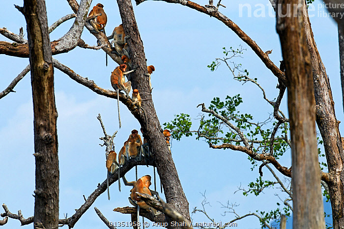 Proboscis monkey (Nasalis larvatus) group sitting in a tree, Bako National Park, Sarawak, Borneo, Malaysia, March  ,  ASIA,ENDANGERED,FAMILIES,GROUPS,HABITAT,JUVENILE,MAMMALS,MONKEYS,NP,PRIMATES,RESERVE,RESTING,SOUTH EAST ASIA,TREES,TROPICAL,TROPICS,TRUNKS,YOUNG,National Park,PLANTS,Hierarchy,Hierarchical,,Nature reclamation  ,  Anup Shah