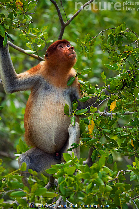Proboscis monkey (Nasalis larvatus) young male feeding in a tree, Bako National Park, Sarawak, Borneo, Malaysia, April  ,  ASIA,CANOPY,ENDANGERED,FEEDING,IMMATURE,JUVENILE,LEAVES,MALES,MAMMALS,MONKEYS,NP,PLANTS,PRIMATES,RESERVE,SOUTH EAST ASIA,SUBADULT,TREES,TROPICAL,TROPICS,VERTICAL,National Park  ,  Anup Shah