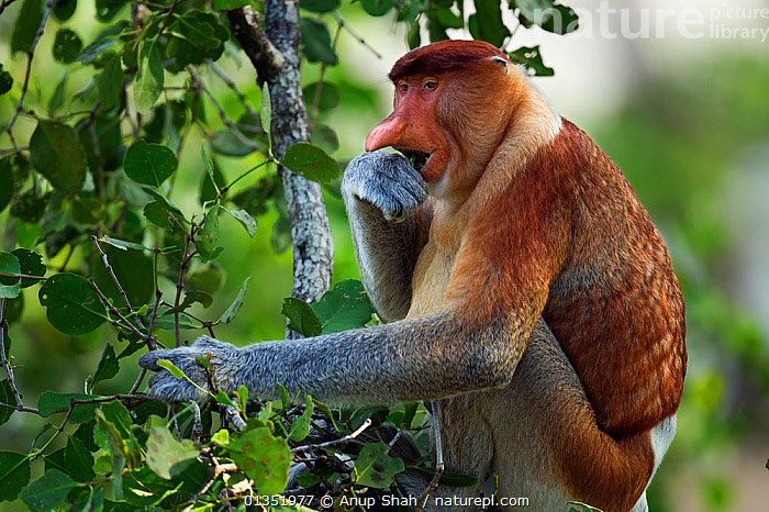 Proboscis monkey (Nasalis larvatus) mature male sitting in a tree feeding on leaves, Bako National Park, Sarawak, Borneo, Malaysia, April  ,  ASIA,CANOPY,EATING,ENDANGERED,FEEDING,LEAVES,MALES,MAMMALS,MONKEYS,NP,PLANTS,PRIMATES,PROFILE,RESERVE,SOUTH EAST ASIA,TREES,TROPICAL,TROPICAL RAINFOREST,TROPICS,National Park  ,  Anup Shah