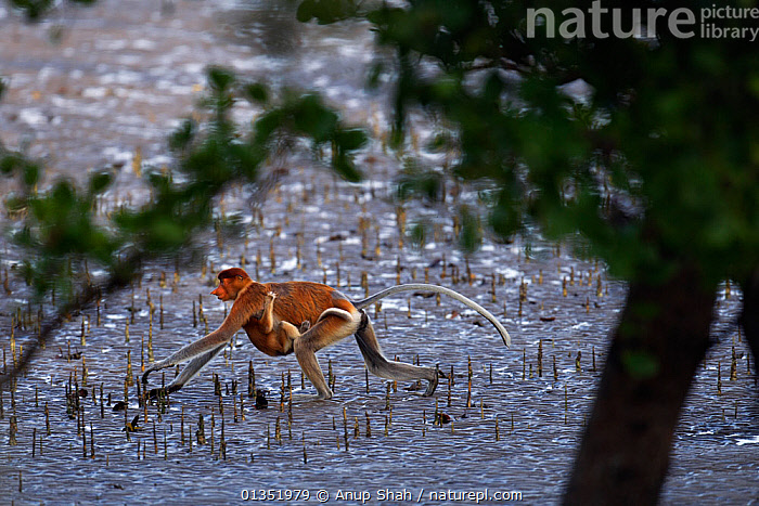 Proboscis monkey (Nasalis larvatus) female carrying an infant under her belly walking on the mudflats of a mangrove swamp at low tide, Bako National Park, Sarawak, Borneo, Malaysia, April  ,  ASIA,BABIES,CARRYING,ENDANGERED,FEMALES,HABITAT,MAMMALS,MANGROVES,MONKEYS,MOTHER BABY,MOVING,NP,PRIMATES,PROFILE,RESERVE,ROOTS,SOUTH EAST ASIA,TIDAL,TRAVELLING,TROPICAL,TROPICS,WETLANDS,National Park  ,  Anup Shah