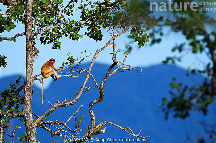 Proboscis monkey (Nasalia larvatus) juvenile sitting in mangrove tree, Bako National Park, Sarawak, Borneo, Malaysia, April  ,  ASIA,ENDANGERED,HABITAT,MAMMALS,MONKEYS,NP,PRIMATES,RESERVE,RESTING,SITTING,SOLITARY,SOUTH EAST ASIA,TREES,TROPICAL,TROPICS,National Park,PLANTS  ,  Anup Shah