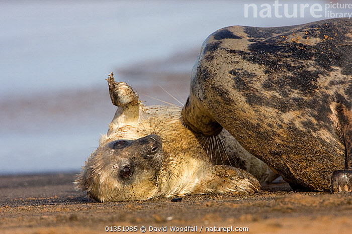 Grey Seal (Halichoerus grypus) mother playing with new born pup on beach. Donna Nook, UK, November.  ,  BABIES,CARNIVORES,CUTE,EUROPE,MAMMALS,MARINE,MOTHER BABY,PHOCIDAE,PINNIPEDS,PLAY,PLAYING,SEALS,SMALL,UK,VERTEBRATES,VERTICAL,Communication,SIZE ,United Kingdom  ,  David Woodfall