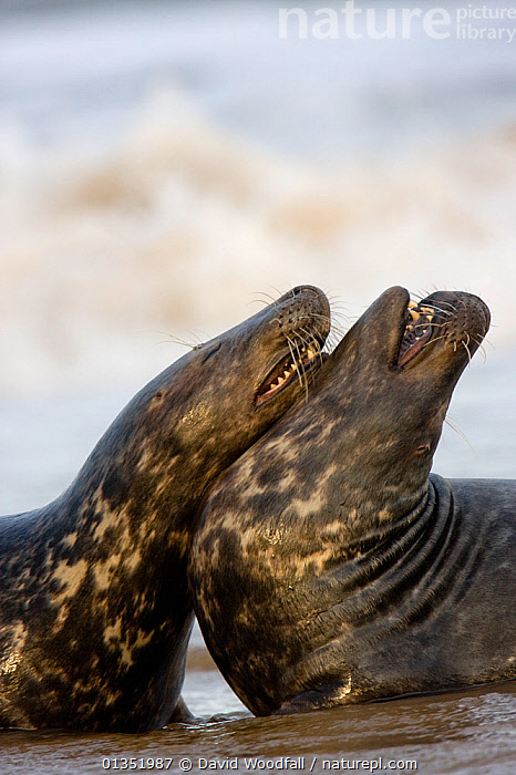 Bull Grey Seals (Halichoerus grypus) fighting on beach. Donna Nook, UK, November.  ,  ACTION,AGGRESSION,BEHAVIOUR,CARNIVORES,EUROPE,FIGHTING,MALES,MAMMALS,MARINE,PHOCIDAE,PINNIPEDS,SEALS,TWO,UK,VERTEBRATES,VERTICAL,United Kingdom  ,  David Woodfall