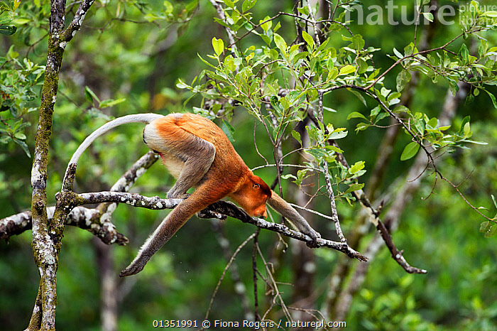 Proboscis Monkey (Nasalis larvatus) preparing to jump from the branch of a tree. Bako National Park, Sarawak, Borneo, Malaysia, March.  ,  ASIA,BORNEO,ENDANGERED,JUMPING,MALAYSIA,MAMMALS,MONKEYS,NP,PRIMATES,RESERVE,SOUTH EAST ASIA,TROPICAL RAINFOREST,National Park  ,  Fiona Rogers